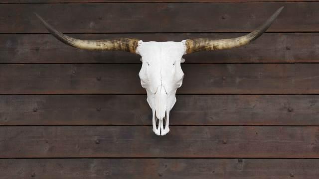 Bullenschädel Stierkopf an der Wand